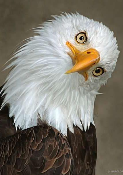 Eagle_Original_Tilted