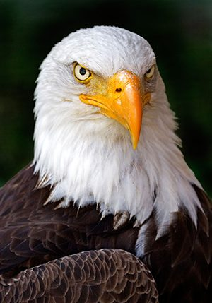 harry-eagle